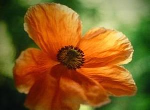 Tulipan Ute Aurand